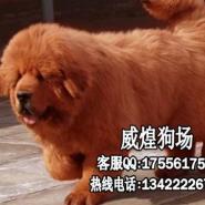 藏獒小狗图片