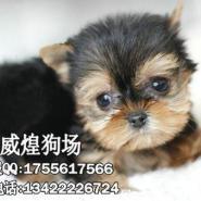 约克夏小狗图片