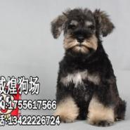雪纳瑞幼犬图片
