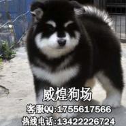 阿拉斯加小狗图片
