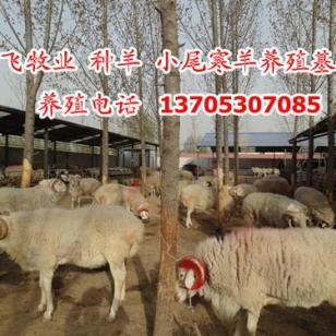 波尔山羊/小尾寒羊图片