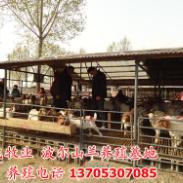 波尔山羊羔羊价格/提供养殖技术图片