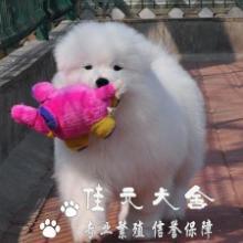 供应广州什么地方有卖微笑天使萨摩耶批发