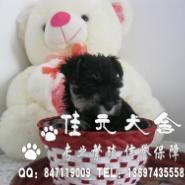 佛山雪纳瑞宠物狗佛山纯种雪纳瑞图片