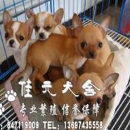 广州哪里有卖纯种吉娃娃广州吉娃娃图片