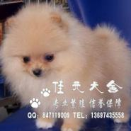 广州佳元犬舍出售博美犬绝对纯种图片