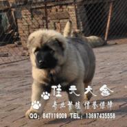 广州纯种高加索广州高加索幼犬图片
