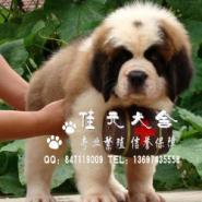 广州纯种圣伯纳价格图片