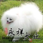 广州什么地方有养狗场卖博美犬图片