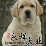 正规犬舍出售纯种高质量拉布拉多图片