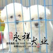 广州哪里卖比熊好广州哪里有犬舍图片
