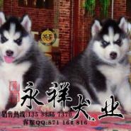 广州什么地方有狗场卖哈士奇雪橇犬图片