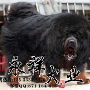 珠海藏獒什么狗场有出售图片