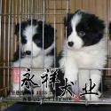 广州深圳佛山哪里的狗场买宠物狗好图片