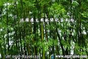 供应沭阳竹子