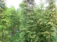 供应句容池杉销售图片