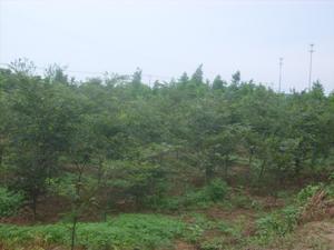 供应红榉树小苗销售图片