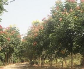 供应黄山栾树图片