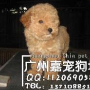 广州正规狗场地址广州哪里有卖泰迪图片