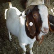 羔羊体外胚胎移植技术图片