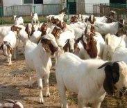 波尔山羊羊肉价格肉羊种羊图片