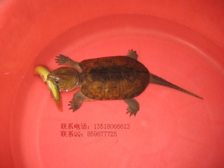 鹦嘴龟大头龟乌龟水龟图片 鹦嘴龟大头龟乌龟水龟样板图 鹦嘴龟大头