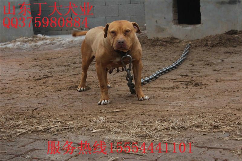 供应常年出售比特犬幼犬猎犬 图高清图片