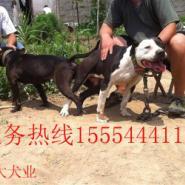 河北省比特犬价格比特犬多少钱图片
