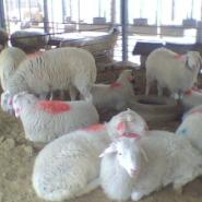 哪里有小尾寒羊/波尔山羊/杜泊绵羊图片