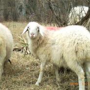 夫妻羊场小尾寒羊波尔山羊养殖技术图片