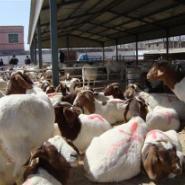 养殖还是波尔山羊最好小尾寒羊最棒图片
