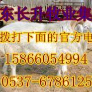 丽水哪儿有卖小羊羔的肉牛波尔山图片