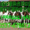 河北武安哪儿有卖小羊羔的波尔山羊图片