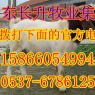 云南牟定哪的波尔山羊养殖厂最大图片