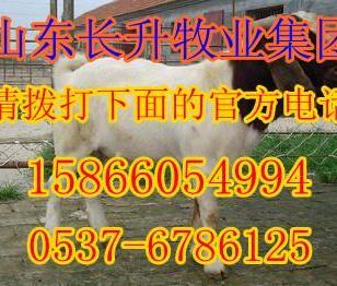 北京附近有养波尔山羊的吗肉羊价格图片