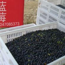供应野生蓝莓蓝莓鲜果蓝莓冻果