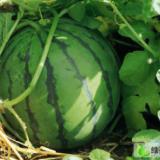 周口西瓜种植基地 电话  销售 河南省西瓜蔬菜交易市场