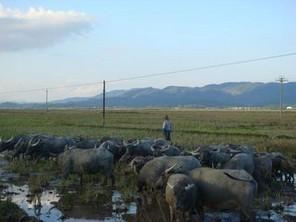养殖基地/小水牛养殖基地电话供应小水牛供货商价格国豪牧业将以一流的...