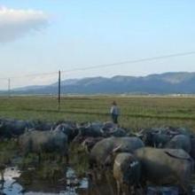 供应小水牛养殖基地电话/小水牛养殖
