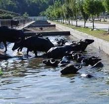 供应水牛养殖基地
