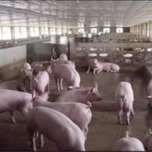 供应猪供货商价格/猪批发价格