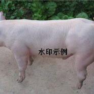 大约克公猪图片