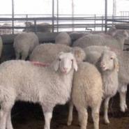 如何养殖波尔山羊效益最佳图片