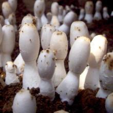 供应食用菌菌种-鸡腿菇