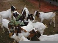 波尔山羊羊苗多少钱