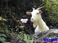 供应白山羊