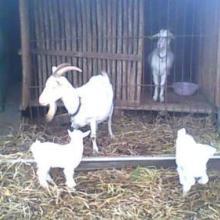 供应山羊白山羊