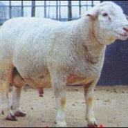 萨福克小尾寒羊波尔山羊杜泊绵羊图片