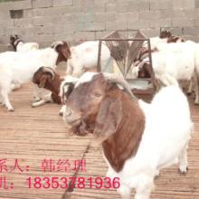 供应波尔山羊纯小山羊养殖基地批发