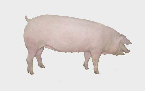 想要买二元母猪,首选天兆猪业图片